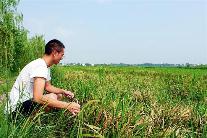 超1800万亩农作物受灾,352万亩稻田绝收!粮仓安徽面临减产压力