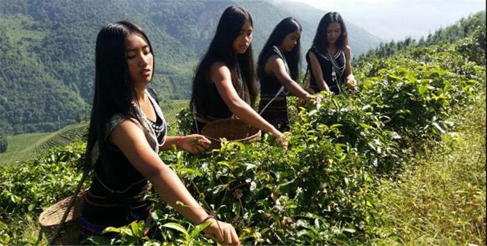 万亩茶园,厚积薄发,普洱茶行业出口领导者